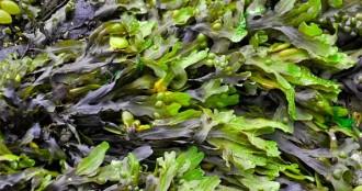 Las Algas Marinas. El poder que poseen para adelgazar + Recetas